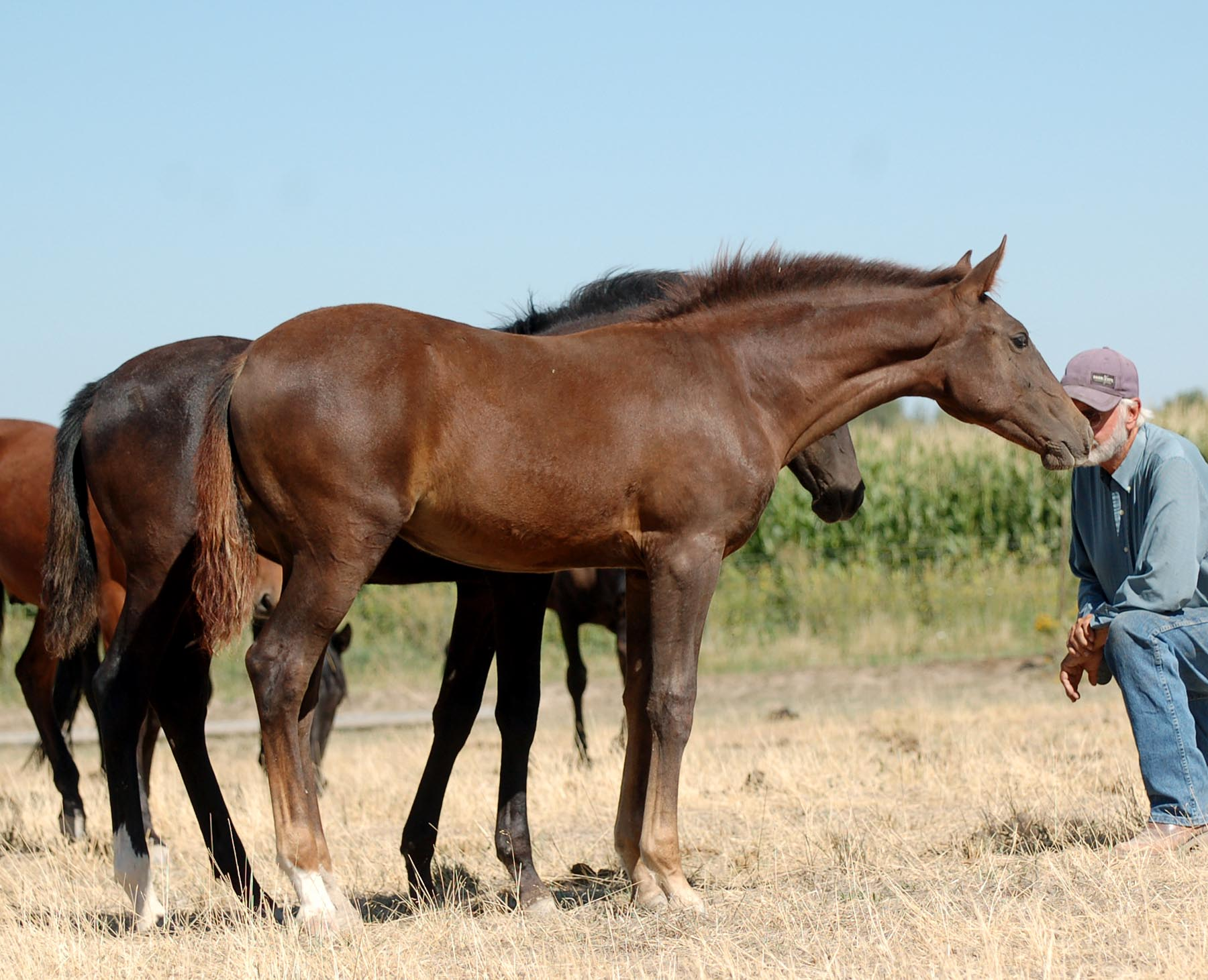 2017 Lusitano Filly