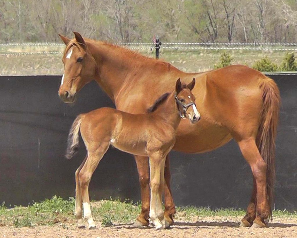 Jaz Ranch Lusitano Bay Filly