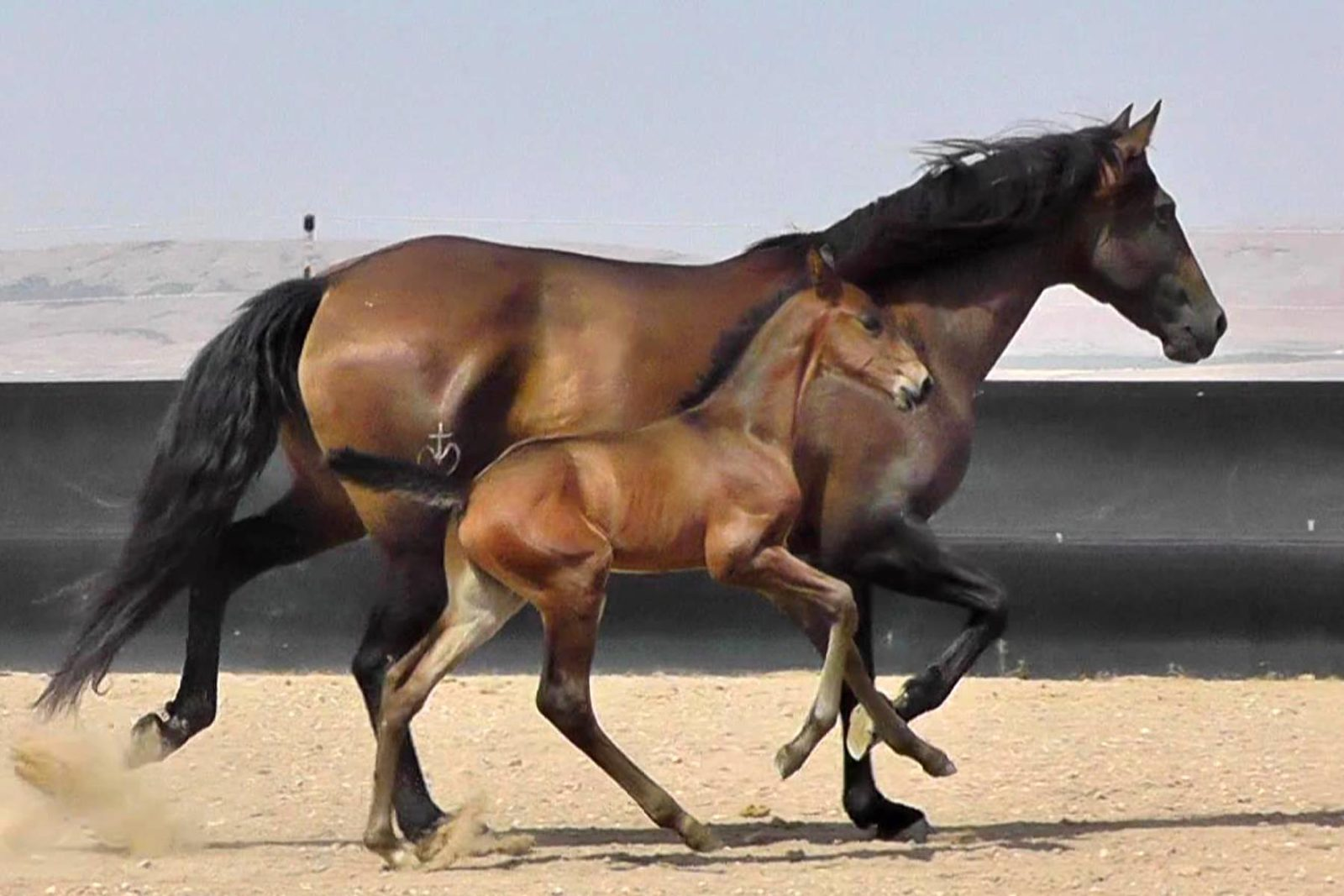 Lusitano mare, Victoria Mor with her 2018 bay colt by Halconero