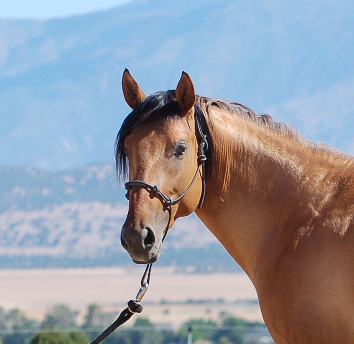 Jaz Ranch Ameritano stallion