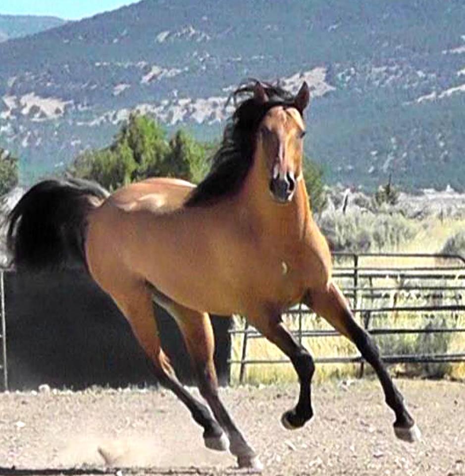 Ameritano stallion