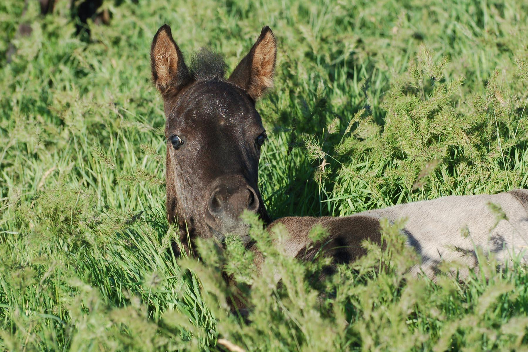 2019 Ameritano Stallion by E Preto / out of Jaz Ebon n Ash