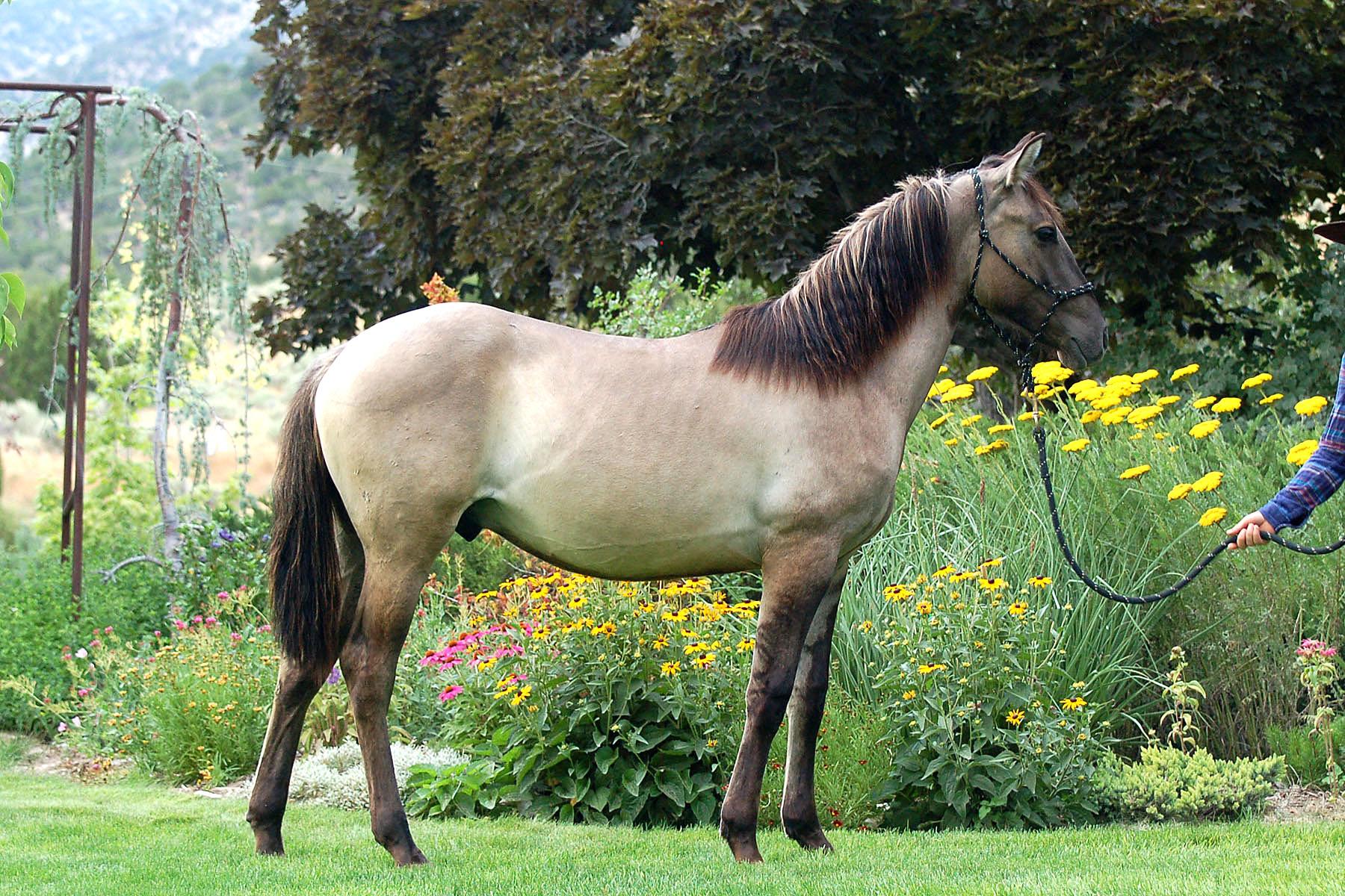 Jaz Valiant - 2018 Yearling Ameritano Stallion